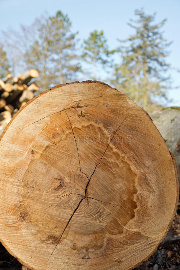 Cut face of a freshly harvested beech log. royalty free stock photo