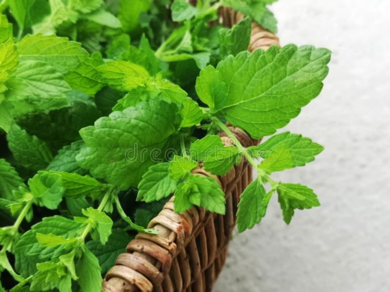 Cut green mint in basket. On a gray background royalty free stock images