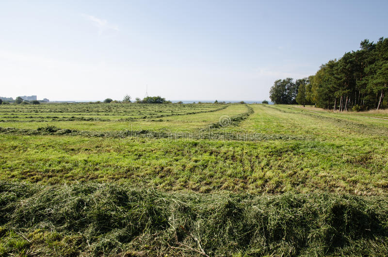 Cut hay in rows at a green field stock photography