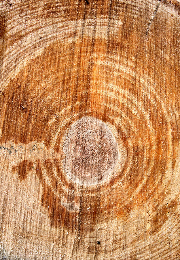 Download Cut of a log stock image. Image of textured, rough, birch - 25595893