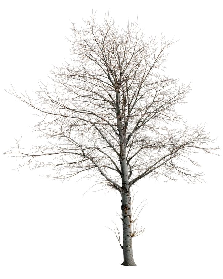 Free Cut Out Bare Tree In Winter. Royalty Free Stock Photos - 160382608