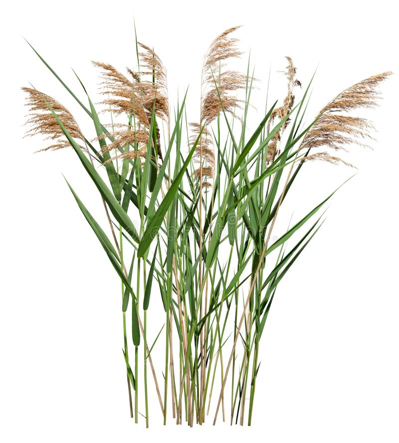 Free Cut Out Cattail. Distaff Isolated Royalty Free Stock Photo - 160381955