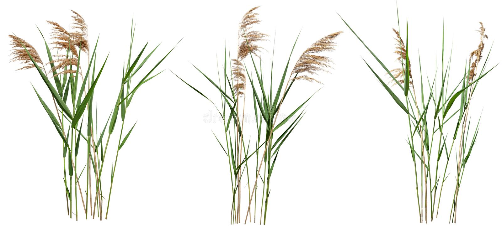 133 915 Reed Photos Free Royalty Free Stock Photos From Dreamstime