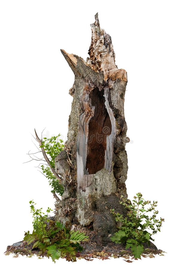 Free Cut Out Hollow Tree Stump. Ancient Tree Royalty Free Stock Image - 160380606