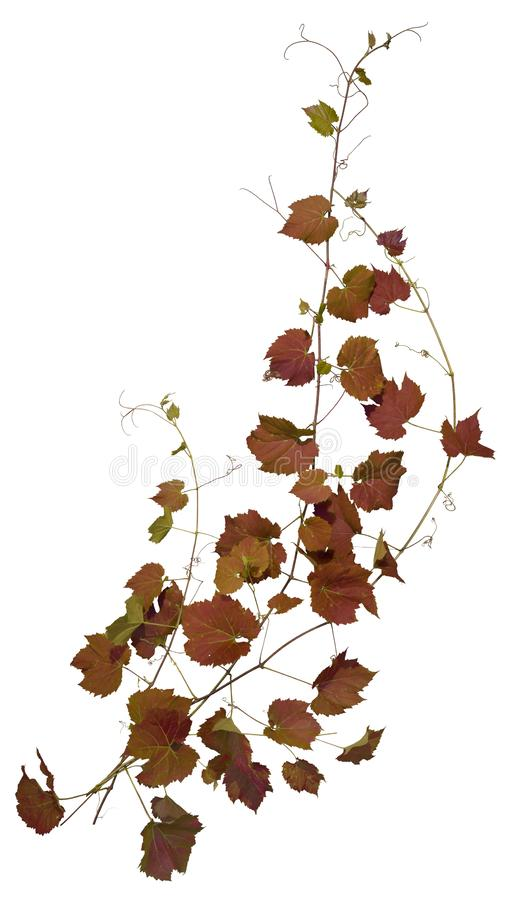 Cut out ivy plant. Wine plant in autumn stock photo