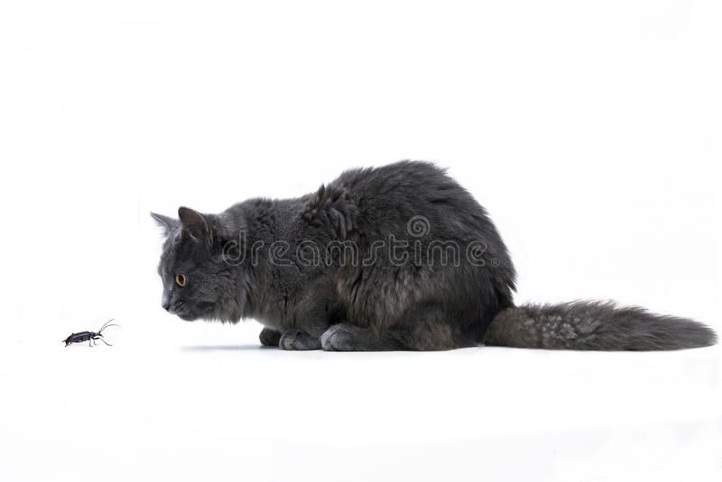 Cut-out Of A Lurking Main Coon Cat Royalty Free Stock Photo