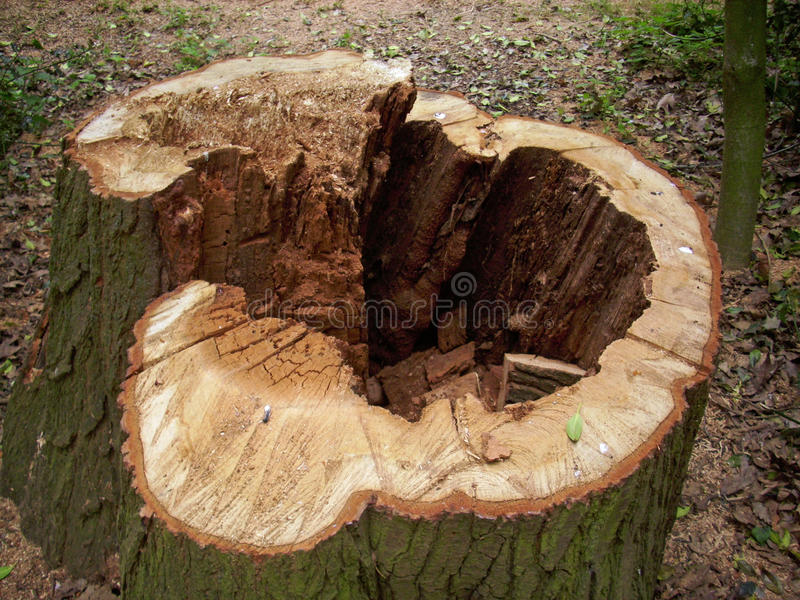 Cut rotten tree stump. Cut tree stump with decay in the heartwood in the centre of the tree making the tree rotten and unsafe. Background of dead leaves royalty free stock photography