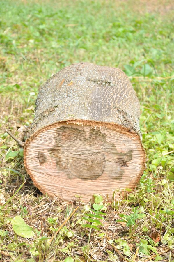 Cut thick tree trunk. Wood texture. stock photography