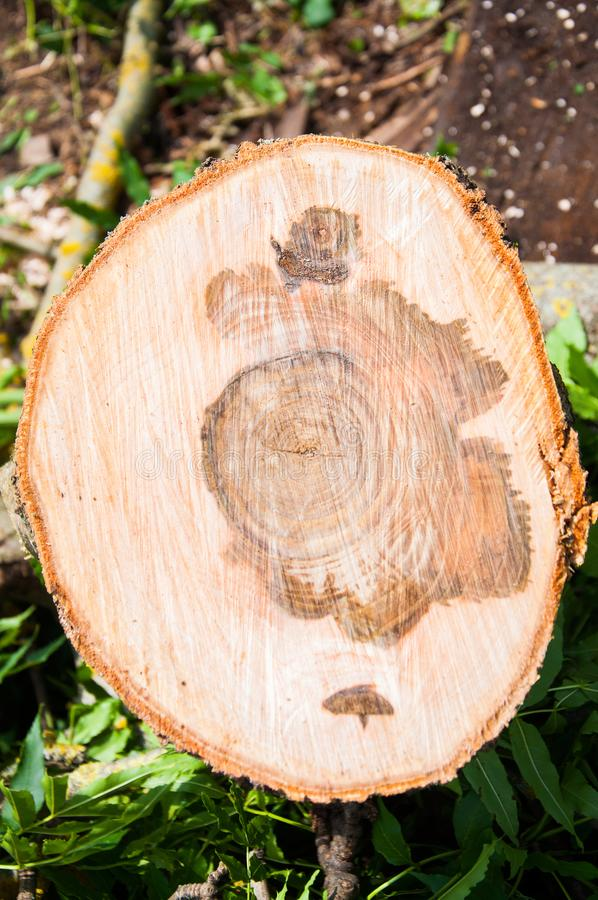 Cut thick tree trunk. Wood texture. royalty free stock images