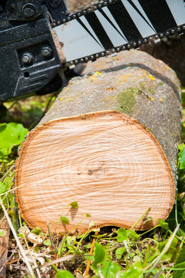 cut thick tree trunk. Wood texture. Chainsaw cuts wood. royalty free stock photos
