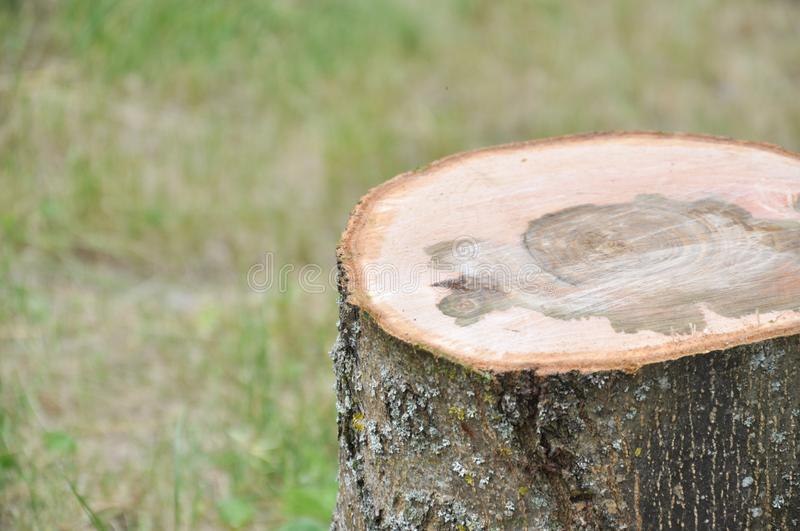 Cut thick tree trunk. Wood texture. royalty free stock photography