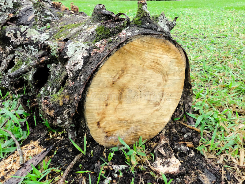 Cut tree with the bark stock image