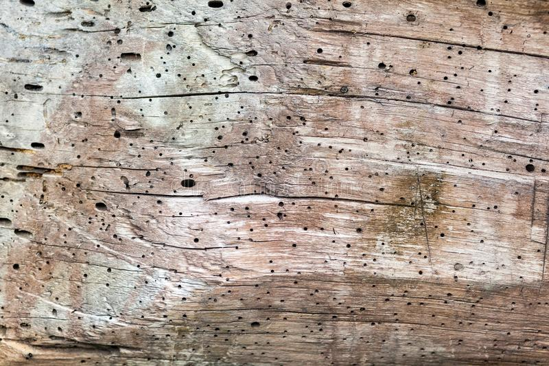 On a cut of a tree holes from beetles. Many points stock image
