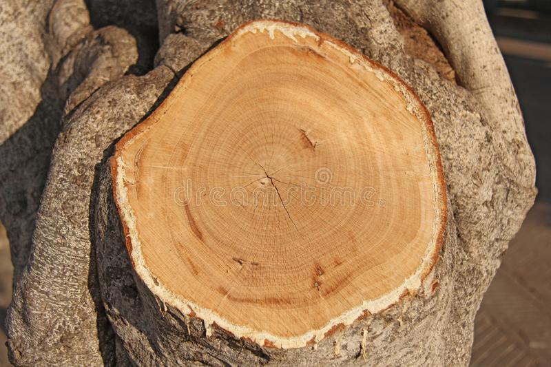 A cut of a tree, a tree ring on a cut.  royalty free stock images
