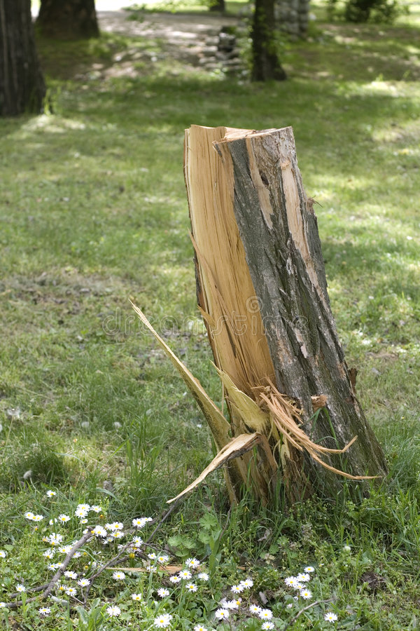 Free Cut Tree Stump Royalty Free Stock Images - 4959749