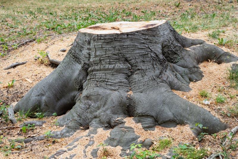 Cut tree stump oak trunk old timber. Circle royalty free stock photos