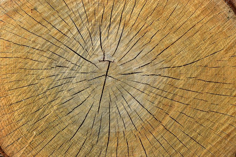 Cut tree texture oak stock photography