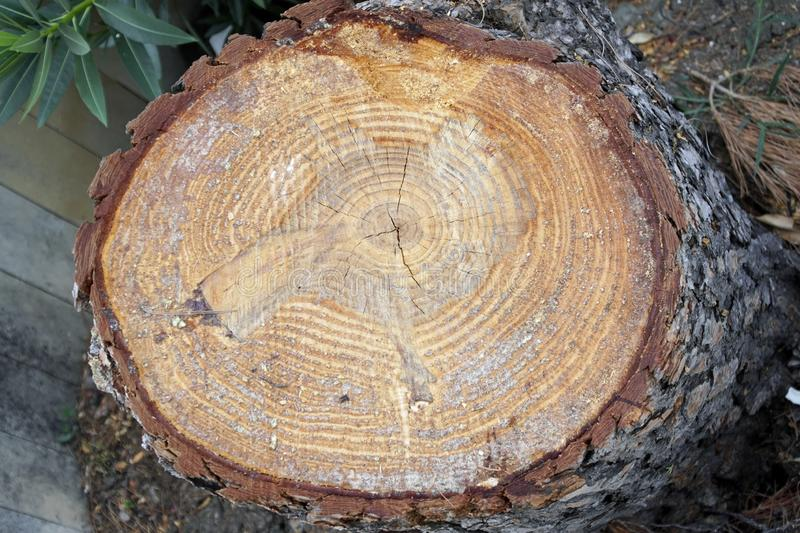A cut of a tree trunk. Coniferous plant pine. The structure and texture of wood in cross section. stock photography