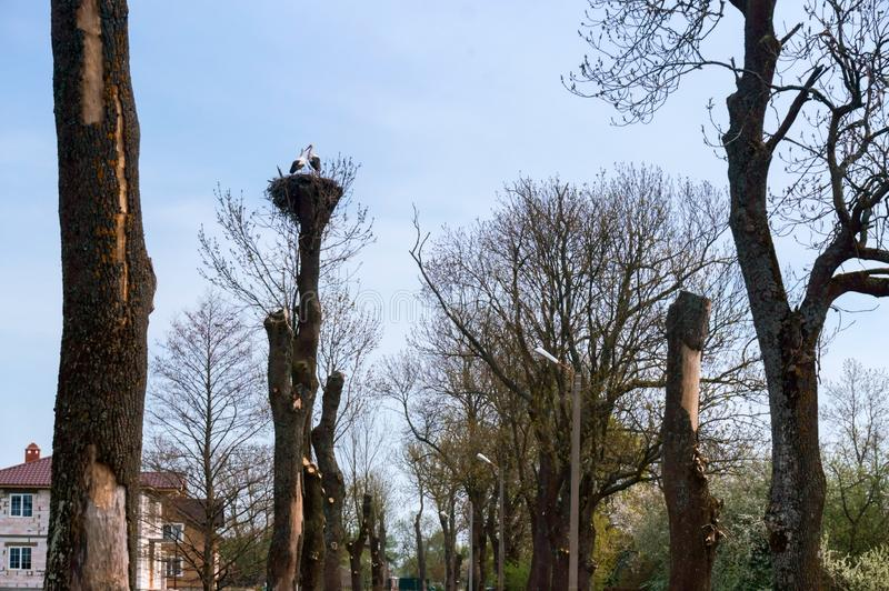 Cut trees and a bird`s nest, storks in a nest on a tree stock photo