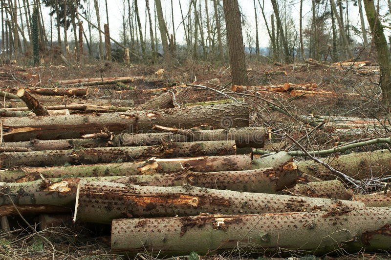Cut trees in a forest. That was destroyed by a terrible storm royalty free stock photos
