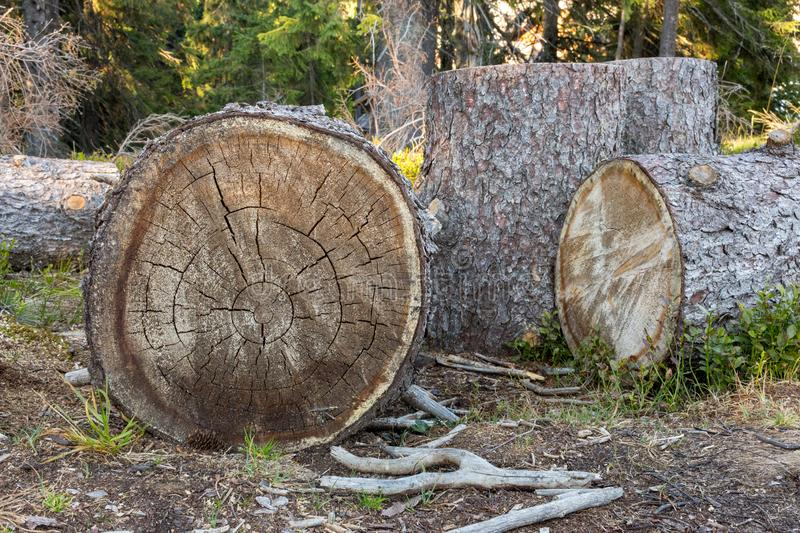 Cut trees and stump in forest. Environment and deforestation concept. Wooden trunks. Ecology concept. Wooden stump with tree rinks. Firewood background stock photos