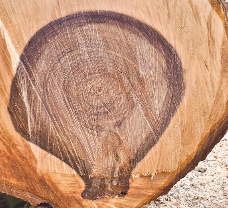 Cut a walnut tree. Tree rings background. Wood texture of a cut tree royalty free stock images