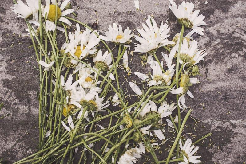 Cut white daisies stock photos