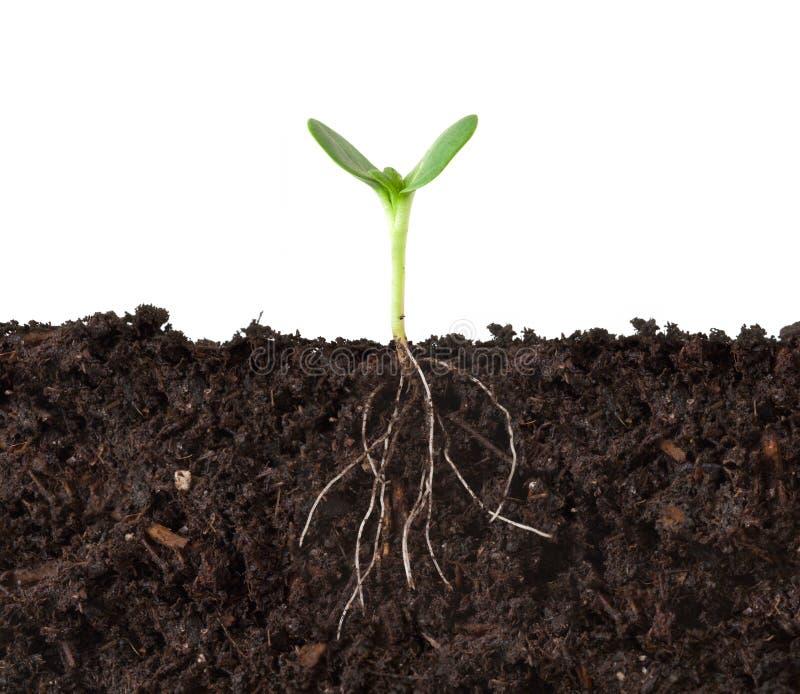 Cutaway da planta e das raizes imagens de stock royalty free