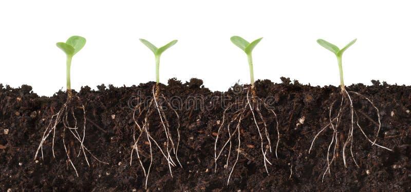 cutaway sadzonki korzenie zdjęcia royalty free