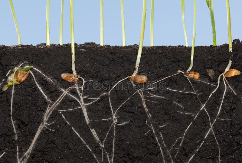 Roots of wheat germinated seeds stock image