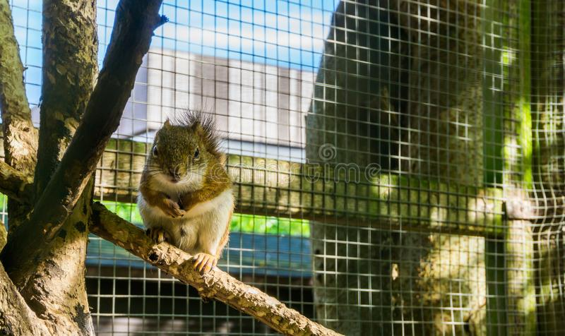Cute and adorable american red squirrel sitting on a tree branch. A cute and adorable american red squirrel sitting on a tree branch royalty free stock photo
