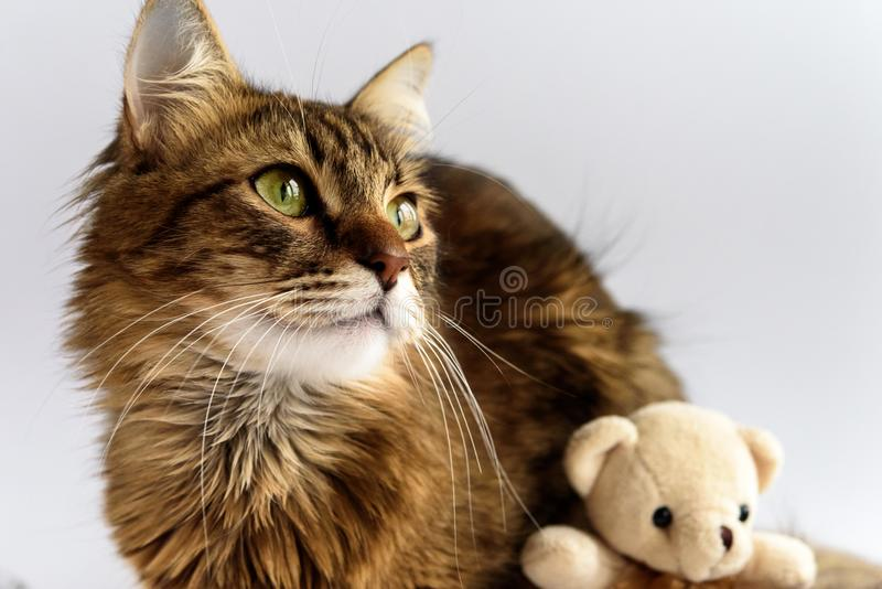 Cute adorable cat and teddy toy on white background, family and royalty free stock photography