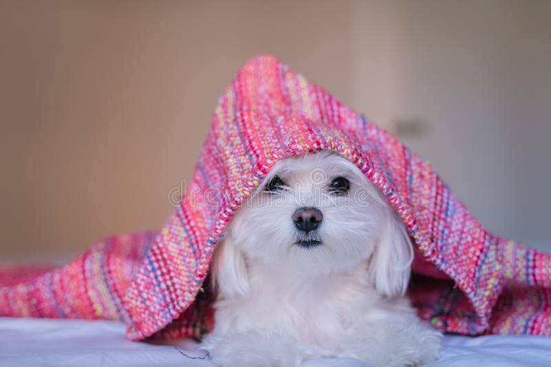 cute adorable maltese dog lying ob bed, wearing a pink hood. Fun and pets royalty free stock images