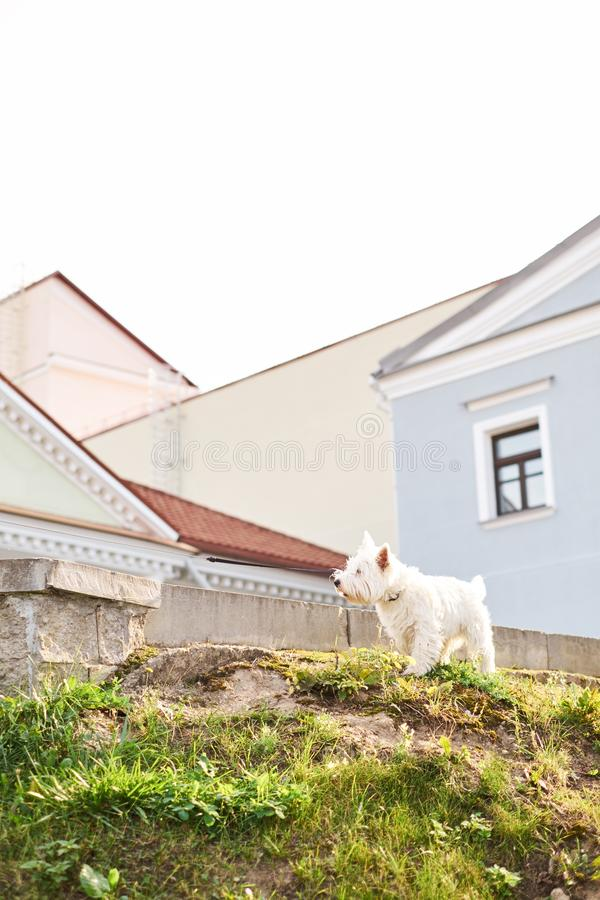 Cute adorable rough haired white little dog sitting outdoors on summer time with green grass and city building background. White a stock photos