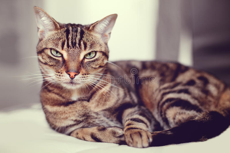 Cute adorable tabby cat with stripes and yellow green eyes lying on sofa couch. Closeup portrait of cute adorable tabby cat with stripes and yellow green eyes stock image