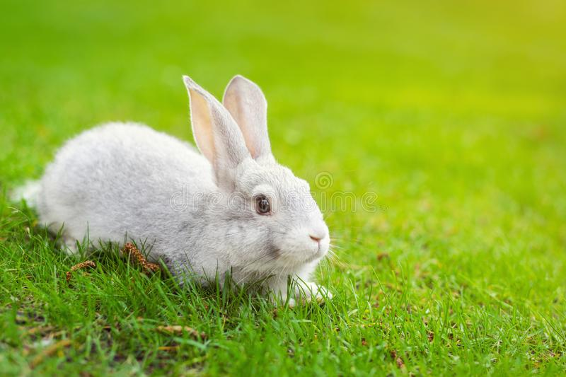 Cute adorable white fluffy rabbit sitting on green grass lawn at backyard. Small sweet bunny walking by meadow in green garden on. Bright sunny day. Easter stock photography