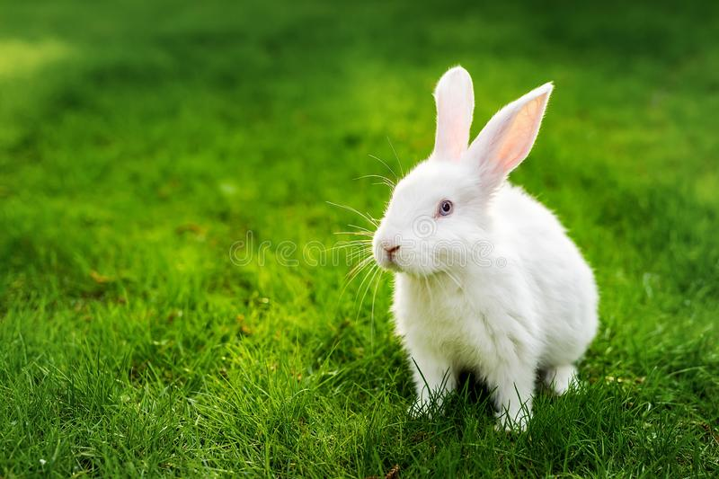 Cute adorable white fluffy rabbit sitting on green grass lawn at backyard. Small sweet bunny walking by meadow in green garden on. Bright sunny day. Easter royalty free stock images