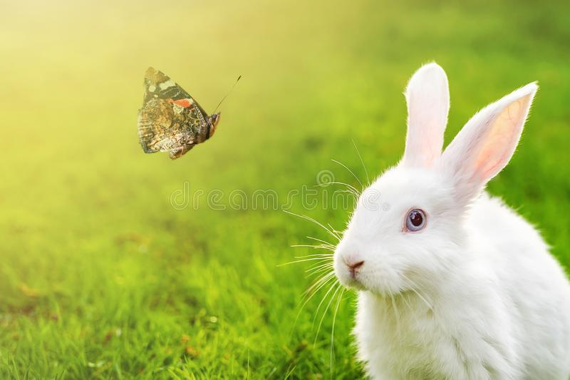 Cute adorable white fluffy rabbit sitting on green grass lawn and looking on beautiful flying butterfly at backyard. Small sweet stock image