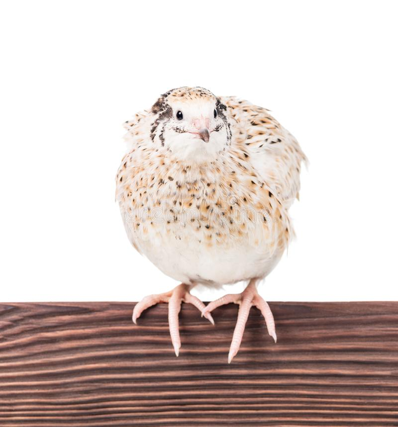 Cute adult quail. On the perch isolated over white background stock photography