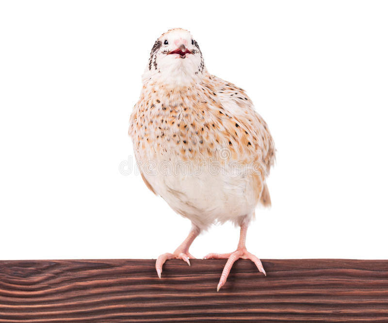 Cute adult quail. On the perch isolated over white background stock images