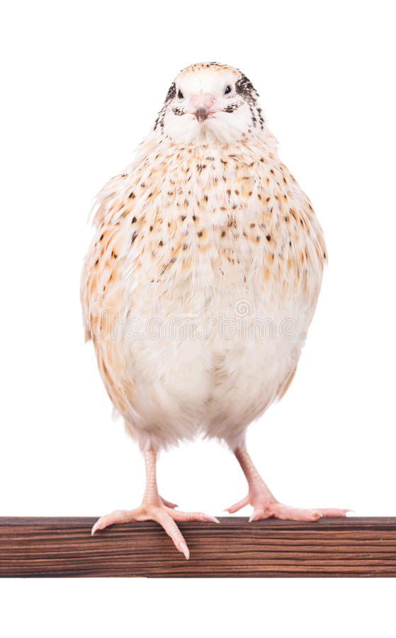 Cute adult quail. On the perch isolated over white background stock image