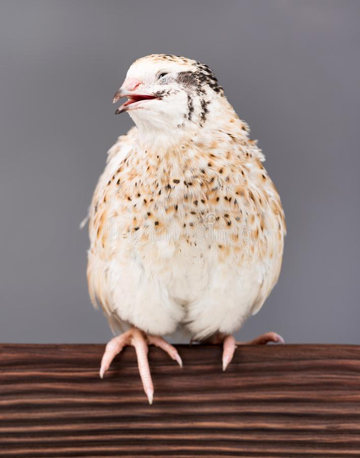 Cute adult quail. On the perch over grey background stock image