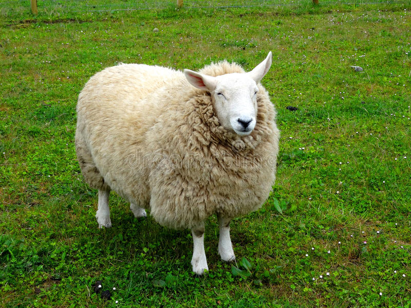 Cute adult sheep royalty free stock images