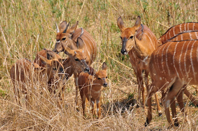 Cute African Antelope royalty free stock images