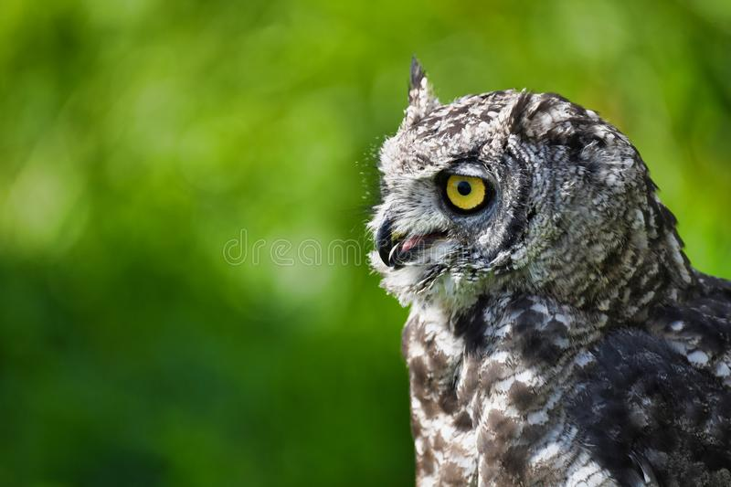 Cute african eagle owl is hunting stock photo