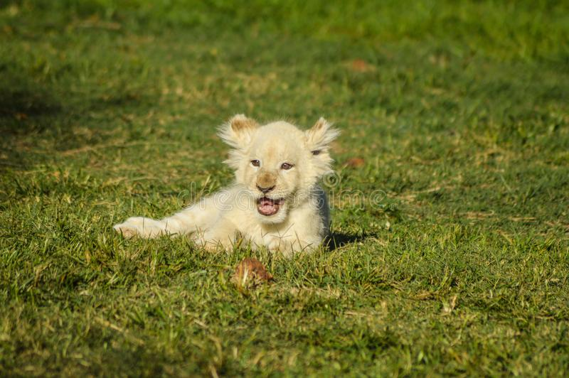 Cute African white lion cubs in Rhino and Lion nature reserve in South Africa. Cute African white lion cubs in Rhino and Lion nature reserve royalty free stock photo