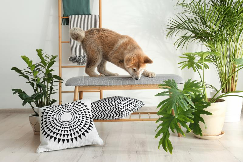 Cute Akita Inu dog on bench in room. With houseplants royalty free stock image