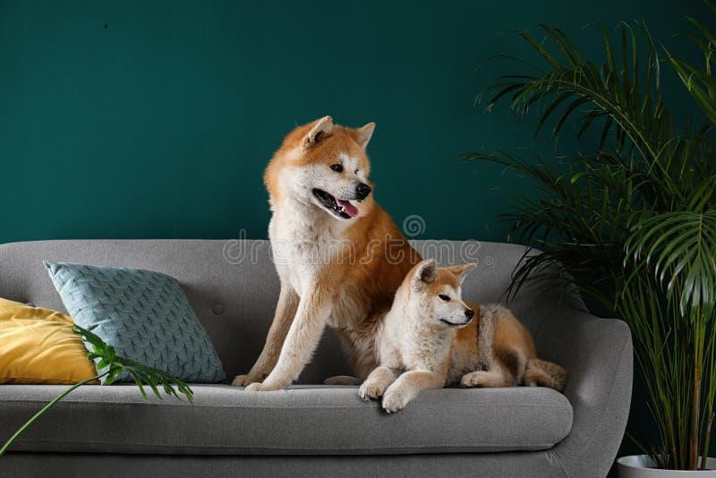 Cute Akita Inu dogsin room com plantas domésticas imagens de stock royalty free