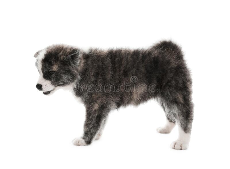 Cute Akita inu puppy on background. Friendly dog. Cute Akita inu puppy on white background. Friendly dog royalty free stock photography