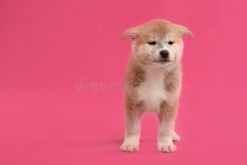 Cute Akita inu puppy on pink background. Friendly dog. Cute Akita inu puppy on pink background, space for text. Friendly dog royalty free stock images